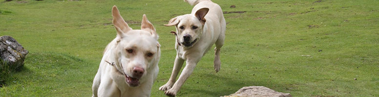 two-dogs-running-in-field