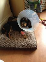 Dog Care post-surgery