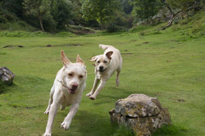 Dogs running in Cheddar Gorge